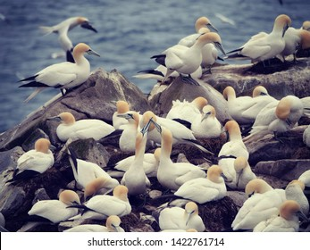 Bird Rock, Newfoundland and Labrador, Canada. Northern Gannets at Cape St. Mary's Ecological Reserve. It is home to one of Newfoundland's largest seabird colonies.
