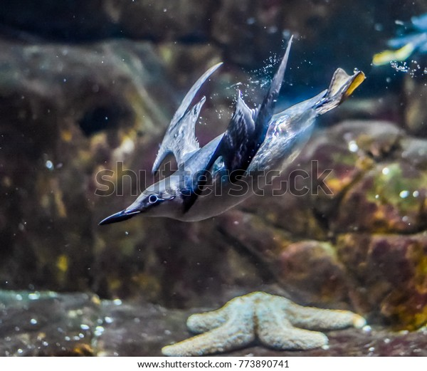 A bird (seabird) swimming underwater in search of small fish to feed on.