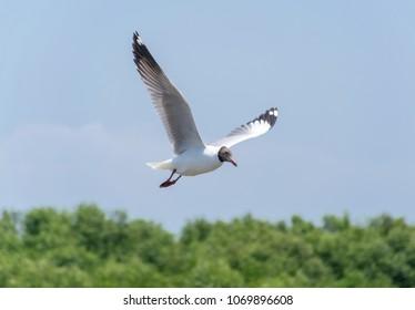 Bird Seagull fly at Bangpoo Samutprakarn Thailand