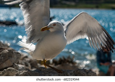 A bird is a seagull on a stony beach on the beach. Seagull does not have one paw (disability)