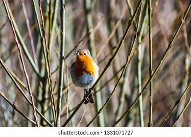 bird - singing in spring