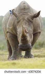 A bird sits on the back of a feeding white rhinoceros.