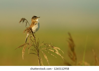 The bird sits on a reed on a homogeneous background. Paddyfield warbler / Acrocephalus agricola