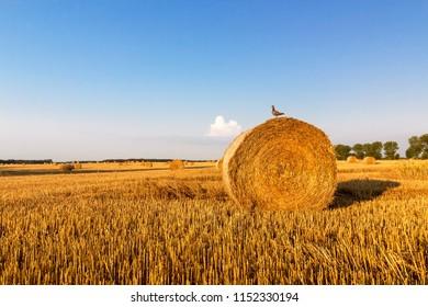 Bird sitting on a golden straw bale, summer landscape