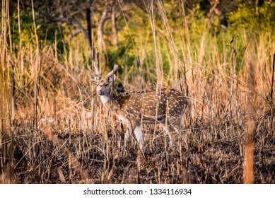 Bird Sitting on  Spotted Deer in Firest - A free ride