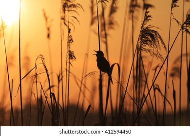 bird sitting in the reeds singing song