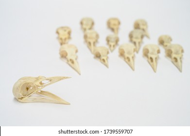 bird skulls on white background. Copy space. no people. Zoology, craniology concept