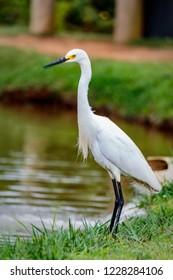 Bird snowy egret