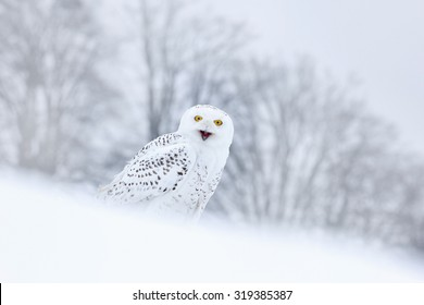 Bird snowy owl sitting on the snow in the habitat, winter scene with snowflakes in the wind.
