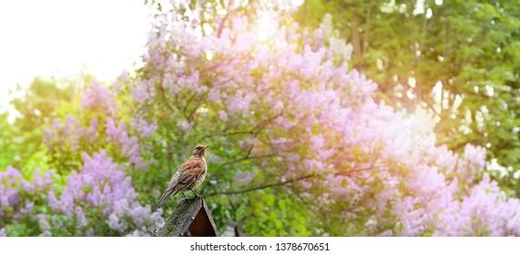 bird song thrush on spring nature background. spring season. Thrush (Turdus philomelos) on lichen covered wood, green garden scene. Beautiful nature scene with bird Song Thrush. bird in nature habitat