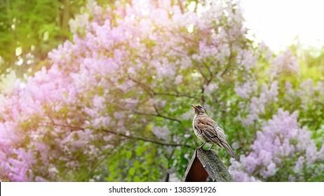 bird song thrush on spring nature background. spring season. Thrush (Turdus philomelos) on lichen covered wood, green garden scene. Beautiful nature scene with bird Song Thrush. soft focus