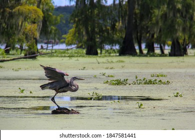 A bird spreads its wings, ready for flight while standing perched on a tree stump protruding from the murky green water of a Louisiana swamp on a bright, sunny, blistering hot day.