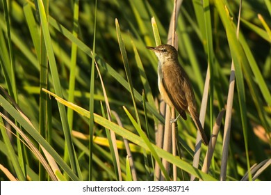 The bird is standing on the reed. Clamorous Reed-Warbler / Acrocephalus stentoreus