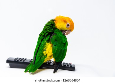A bird is standing on a remote control and cleaning his wing