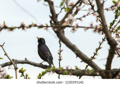 A bird starling on a flowering tree sings