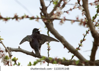 A bird starling on a flowering tree wings up