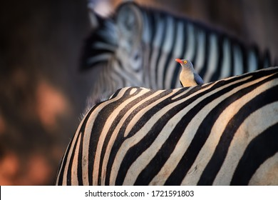 Bird and stripes. African red-billed oxpecker ride on back of zebra, looking for ticks. Mutualism between african animals. Mana Pools, Zimbabwe.