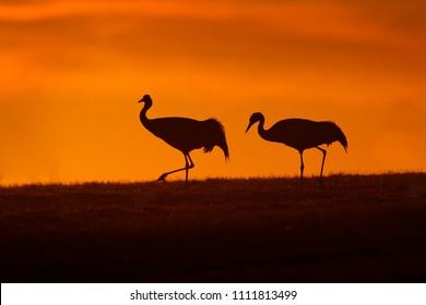 Bird Sunset Silhouette Common Crane Grus Big In The Nature Habitat