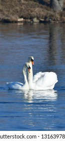 bird swans cygnus olor ratio 1:2