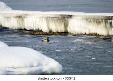 Bird swimming in frozen water