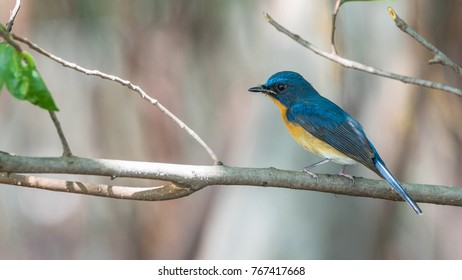 Bird (Tickell's Blue Flycatcher, Cyornis tickelliae) upper parts are bright blue throat and breast are red and the rest of the underparts are white perched on a tree in a nature wild