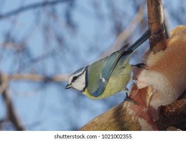 bird tit on branch on blue sky background