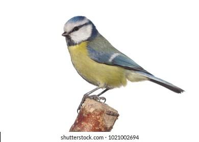 bird tit on branch on white background