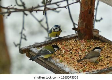 Bird titmouse feeding millet sunflower on fodder rack in winter snow