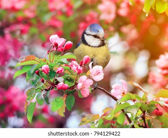 bird titmouse sitting in the garden among the flowering branches of pink cherry blossom in spring