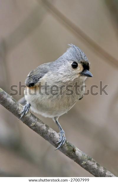 Bird, Tufted Titmouse, Frontal Pose, Parus bicolor