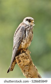 Bird, very rare passage migrant bird Amur Falcon perched on wooden pole at Kao Yai National Park Thailand.Falco amurensis