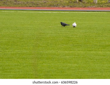 a bird walking on the grass and beak pecks the ground looking for food