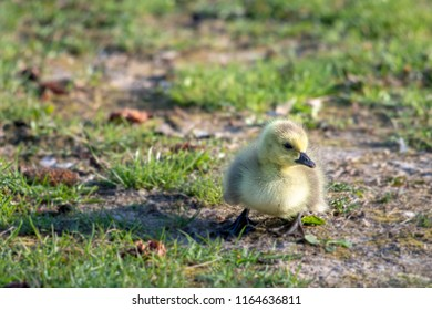 Bird watching a cute gosling or chick in a public park. The Canadian goose is a migratory bird that returns on Spring for reproducing.