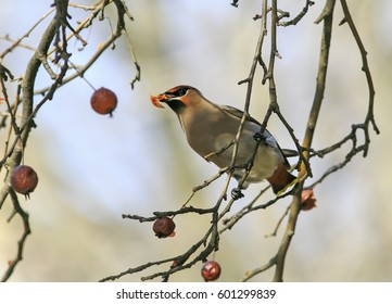 bird of the Waxwing eating the frozen apples in the Park