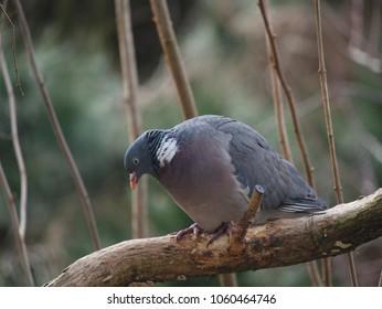 bird wild pigeon on forest background