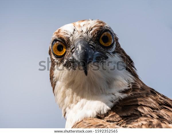 Bird wildlife with Osprey on the beach - Caribbean / Curacao