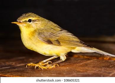 Bird Willow Warbler - Phylloscopus trochilus.