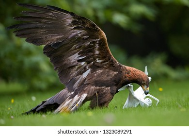 Bird at work. Golden eagle, Aquila chrysaetos in training  for airfield protection against drones.