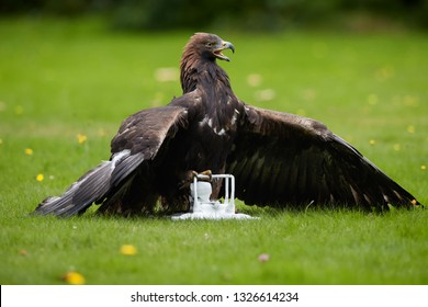 Bird at work. Golden eagle, Aquila chrysaetos in falconry training for airport protection against drones. Highly trained eagle in dominant position on ground, having white drone in claws.