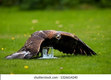 Bird at work. Golden eagle, Aquila chrysaetos in falconry training for airport protection against drones. Highly trained eagle in dominant position with wings spread over white drone in claws.