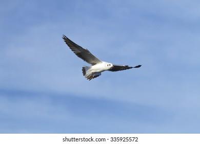 Bird,Brown-headed gull, Bird of Thailand