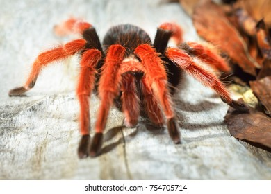 Birdeater tarantula spider Brachypelma boehmei in natural forest environment. Bright red colourful giant arachnid.