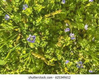 Birdeye or persian speedwell, Veronica persica, growing on Galicia