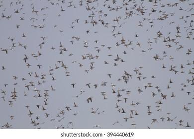 Bird,Garganey (Anas querquedula)