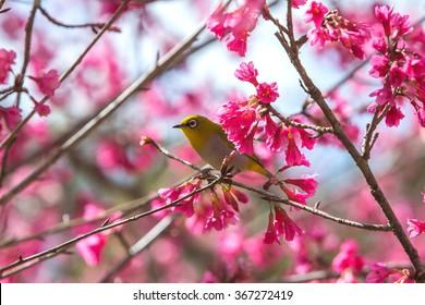Bird,Oriental White-eye,Birds on a cherry tree,cherry tree