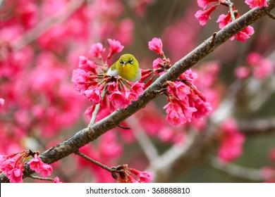 Bird,Oriental White-eye,Birds on a cherry tree,cherry tree -Doi Ang Khang, Chiang Mai, Thailand.