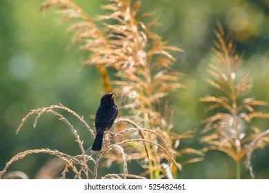 Bird-pied bushchat bird.