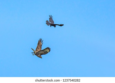 Birds in action.Crow protecting its territory  chasing hunting buzzard away.Birds in flight and blue sky in background.Animal behaviour.Beautiful nature Uk.Wildlife photography.