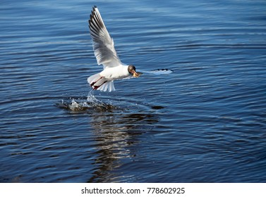 Birds and animals in wildlife. Action view of hungry black headed gull with spread wings (Chroicocephalus ridibundus) takes food and fly above river surface with splash of water and reflection in it.