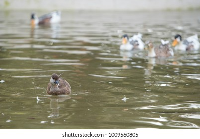 Birds and animals in wildlife. Amazing closeup view of brown mallard female duck on stone under sunlight with others swimming nearby in water of park